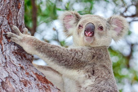 A cute portrait of an awake wild koala sitting in a tree