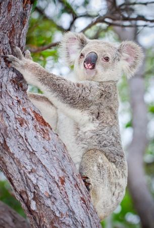 koala: Retrato de un koala silvestre trepando un árbol Foto de archivo