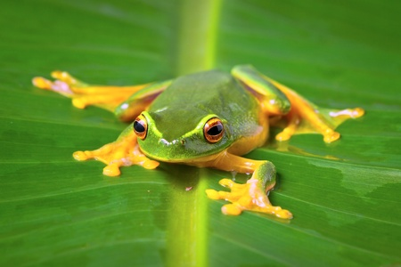 Beautiful Orange thighed tree frog, Litoria zanthomera, sitting on a leaf looking at camera photo