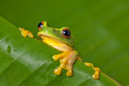 Cute and colorful Orange thighed tree frog (Litoria xanthomera) peeking over a banana leaf. photo