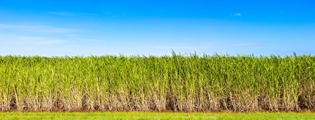 sugarcane: Vibrant panorama of sugar cane plantation in Queensland, Australia Stock Photo