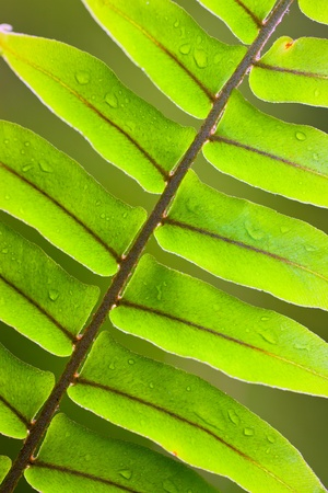 Beautiful close-up of a lush green fern frond with water droplets photo