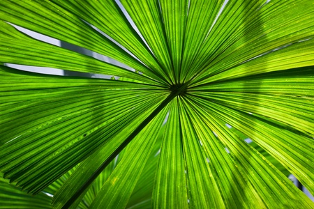 Beautiful vibrant, lush green fan palm frond or leaf Stock Photo - 10053859