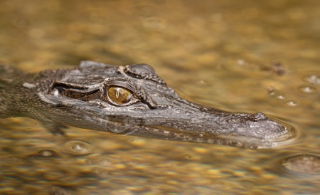 alligator eyes: A close-up shot of a salt water crocodile (Crocodylus porosus) Stock Photo