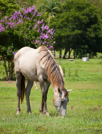 light brown horse: A beautiful white horse feeding on grass in a green field