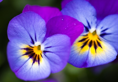 Close-up shot of two beautiful purple pansy flowers