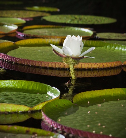 Close-up of the Giant water lily (Vicoria amazonica) flower. Stock Photo