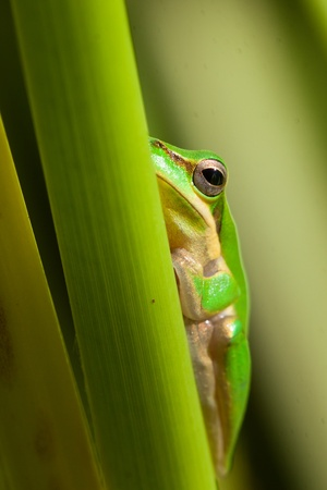 Cute and beautiful dwarf tree frog (Litoria fallax) sitting on a plant photo
