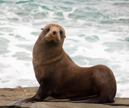 A very cute young New Zealand fur seal  Arctocephalus forsteri  photo
