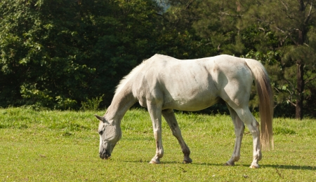 animal feed: A beautiful white horse feeding in a green pasture