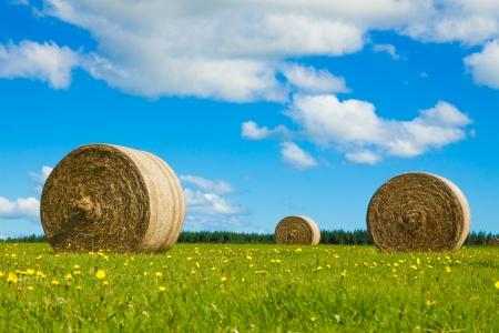 Duża zatoka rolkach siano w zielonym polu z żółte kwiaty i błękitne niebo.