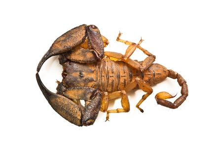A large Australian rainforest scorpion. Isolated on white. photo