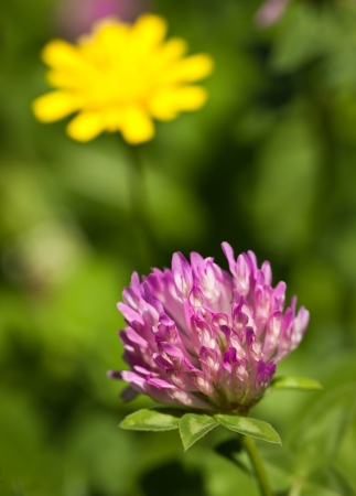 A close-up shot of a red clover in a green lush field. photo