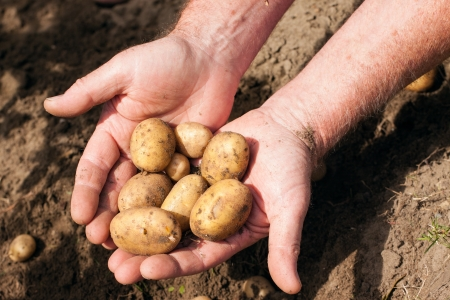 potato field: Hands holding fresh potatoes just dug out of the ground