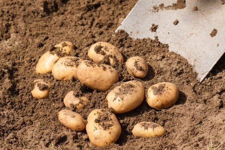 potato field: Fresh potatoes being dug up out of the ground by a spade