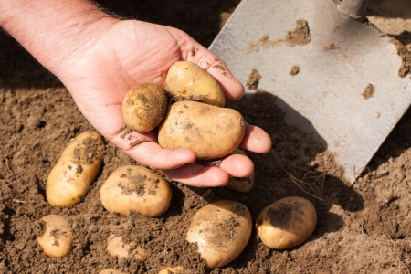 Hand holding potatoes just dug out of the ground photo