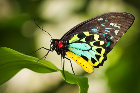 Beautiful male Cairns birdwing butterfly   Ornithoptera euphorion  on a leaf Stock Photo