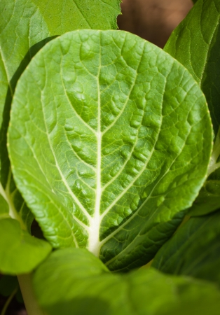 Close-up foto de una hoja bok choy fresca que crece en una granja org�nica photo