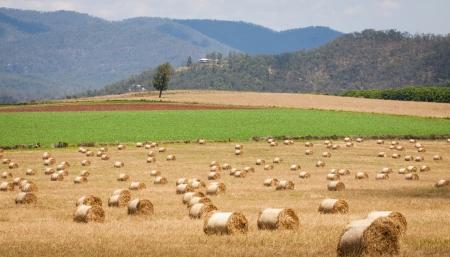 hay: Hay bales rolls drying in a field in Queensland, Australia