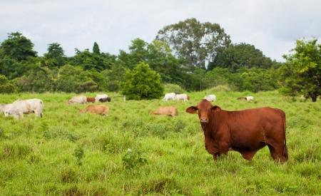 ブラフマン牛、オーストラリア、クイーンズランド州のパドック。 写真素材