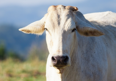 Close-up foto de una vaca mirando a la c�mara al aire libre, Queensland, Australia photo