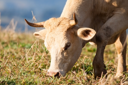 domestic cattle: Close-up shot of a cow grazing on grass in a pasture, Queensland, Australia