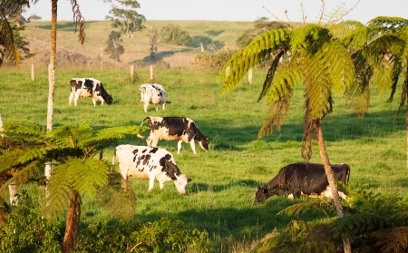 Vacas pastando en una pradera tropical exuberante en Queensland, Australia photo