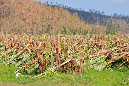 typhoon: Banana plantation destroyed by severe tropical cyclone Yasi in Queensland, Australia Stock Photo