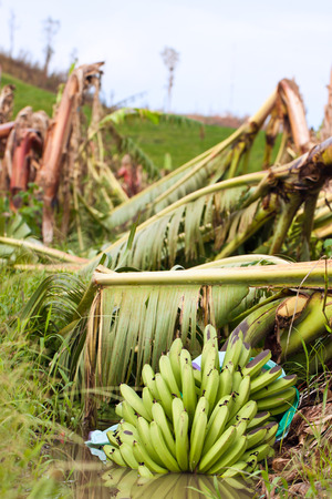 Closeup of a bunch of bananas in a plantation destroyed by severe tropical cyclone Yasi in Queensland, Australia