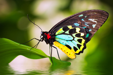 A beautiful male Cairns Birdwing Butterfly (Ornithoptera euphorion) sitting on a leaf with refelction in the water. Stockfoto