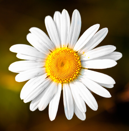 Closeup of a beautiful yellow and white Daisy flower