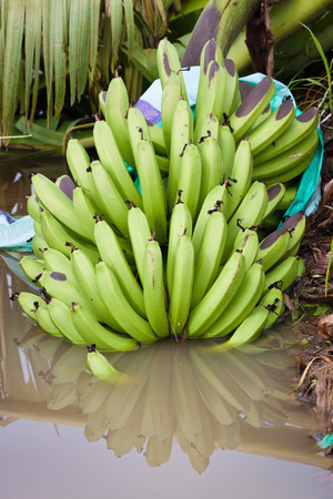 typhoon: A bunch of bananas in a water puddle on a plantation after the destructive cyclone Yasi near Mission Beach, Queensland, Australia  Stock Photo