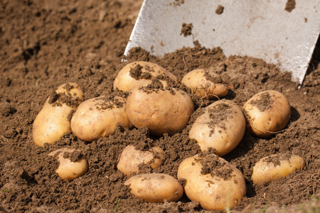 Fresh potatoes being dug up by a spade  Stock Photo