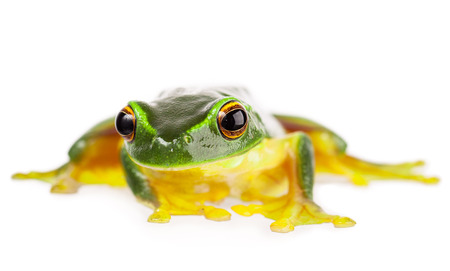 A macro shot of a beautiful Australian Orange thighed Tree frog, Litoria xanthomera  Isolated on white Stock Photo