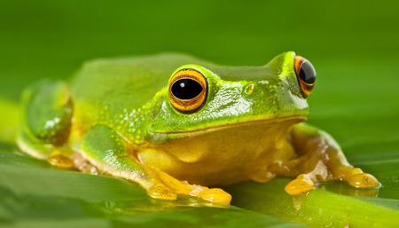 red eyed leaf frog: A tropical Australian Orange thighed Tree frog, Litoria xanthomera, sitting on a leaf