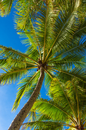 Lush green palm trees against a blue sky