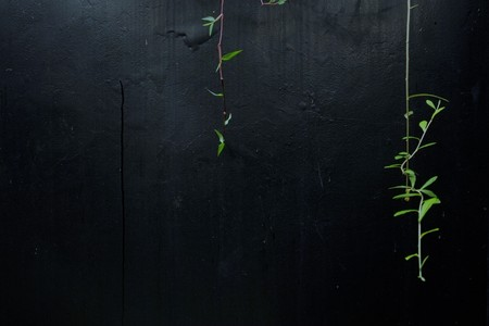 Green plants vine on black textured concrete wall
