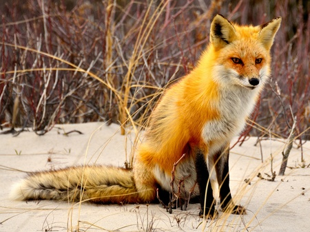 red head: Red fox of Island State Beach Park, NJ USA. Stock Photo