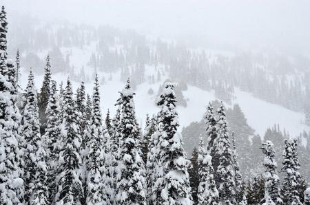 大雪の中の松の木