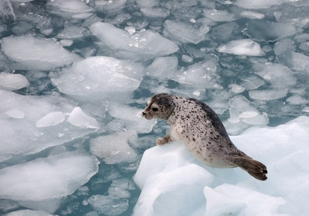 calving: Harbour Seal on an iceberg Stock Photo