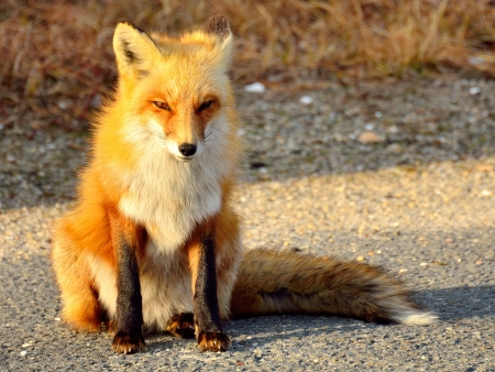 島のビーチ州立公園、ニュージャージー州アメリカ合衆国の赤狐