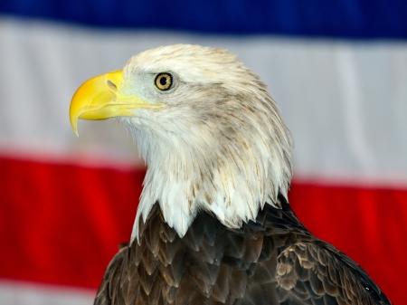 Bald Eagle with USA flag as backdrop