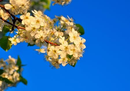 春桜の花青い空を背景