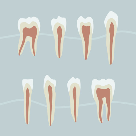 Tooth structure - vector illustration