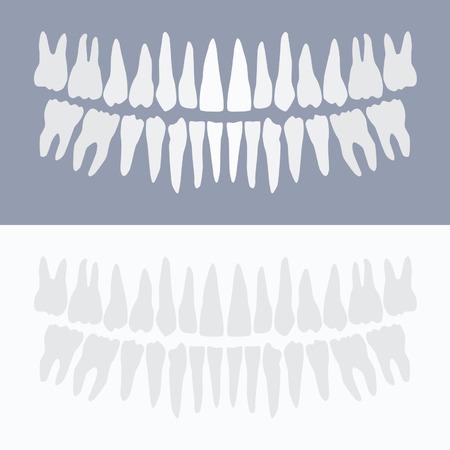 Human teeth - vector illustration