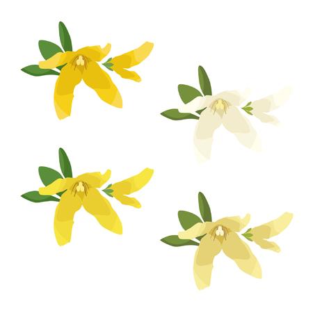 Set of Forsythia blossoms  illustration. Illustration