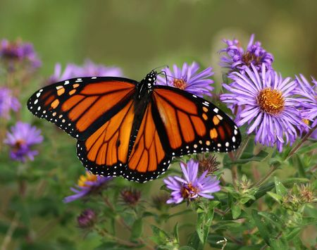 aster: Monarch on Aster