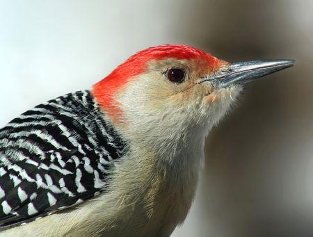 aves: Red-bellied Woodpecker