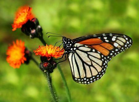 hawkweed: Monarch on Orange Hawkweed Stock Photo