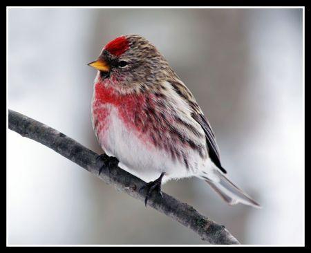 aves: Common Redpoll